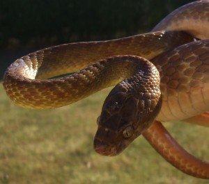 10 самых опасных инвазивных видов животных, уничтожающих целые экосистемы