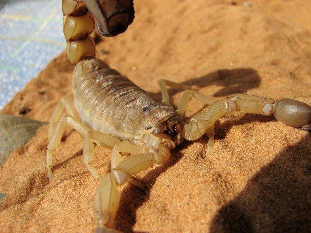 Androctonus Australis