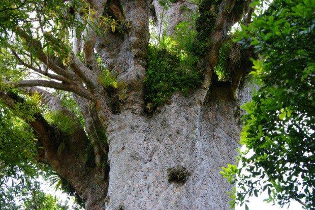 каури дерево