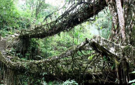 мост из корней каучукового дерева