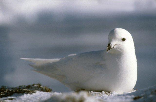 Белая птица на снегу