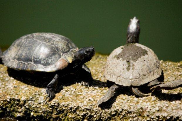 Пара черепах элсея белогорлых