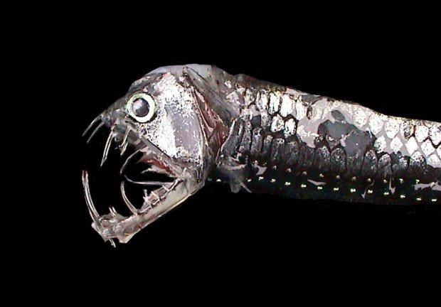 10 удивительных рыб и их способности. Индикант