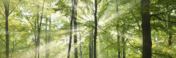 Солнечные лучи пробиваются через кроны деревьев в лесу
