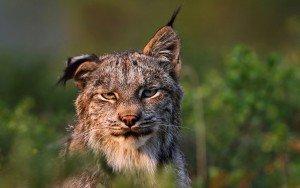 Потрёпанная рысь с загнутым ухом