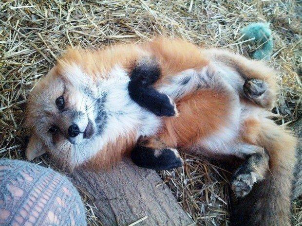 Приручённая лиса лежит на спине