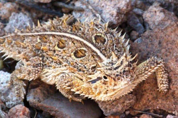 Техасская жабовидная ящерица