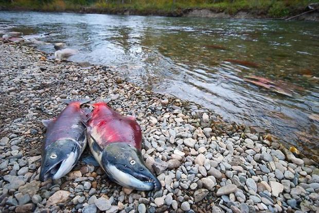 Мертвый атлантический лосось