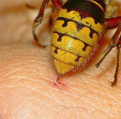 Жалящаяпчела