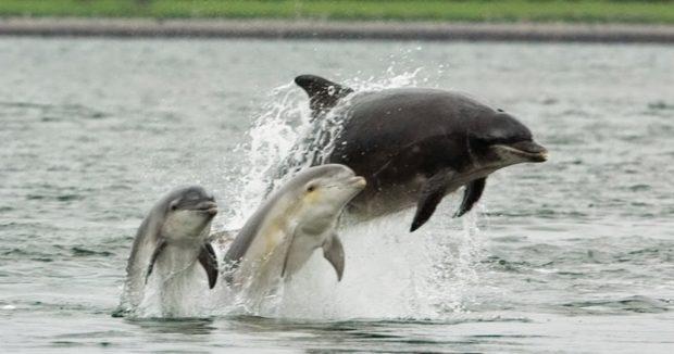 Дельфин-бутылконос с детенышами