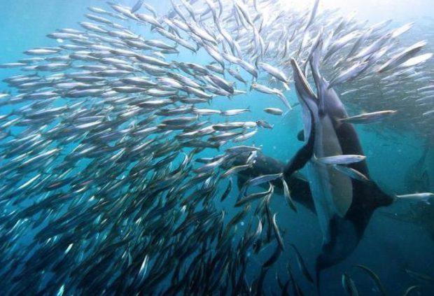Дельфин охотится на рыбу