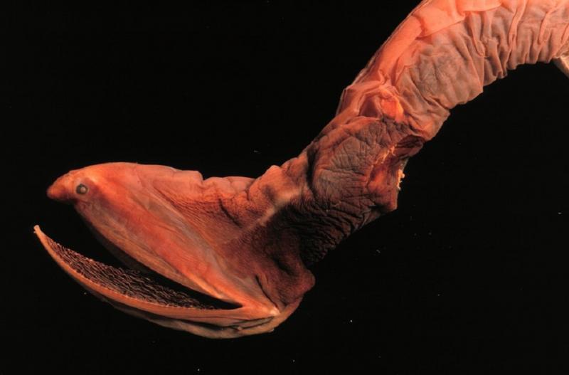 Большерот - представитель морского зверинца, достойного личного ужастика.