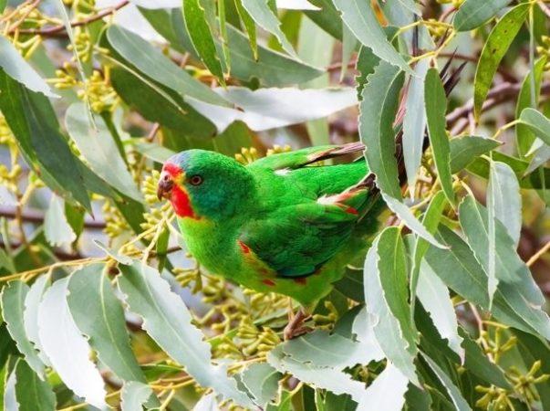 Ласточковый попугай