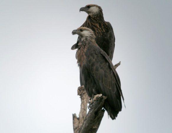 Орлан-крикун мадагаскарский