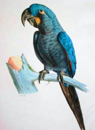 Серо-голубой гиацинтовый ара