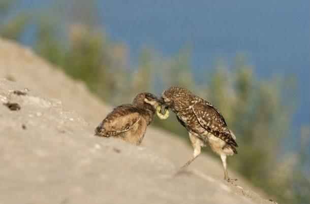 Сильные и здоровые птенцы получают пищу первыми