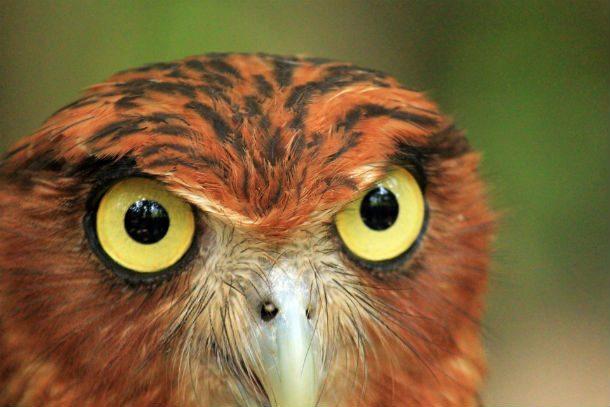 Совы не имеют глазных яблок