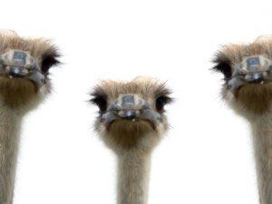 10 удивительных фактов о страусах.
