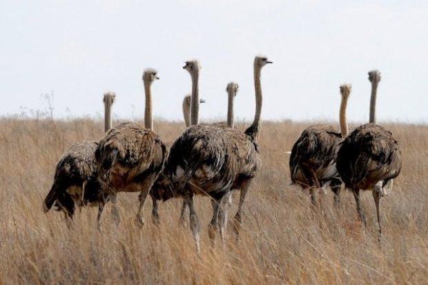 Эволюция страусов и других нелетающих птиц шла по особому пути
