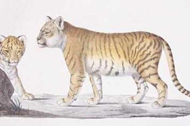 История происхождения лигров