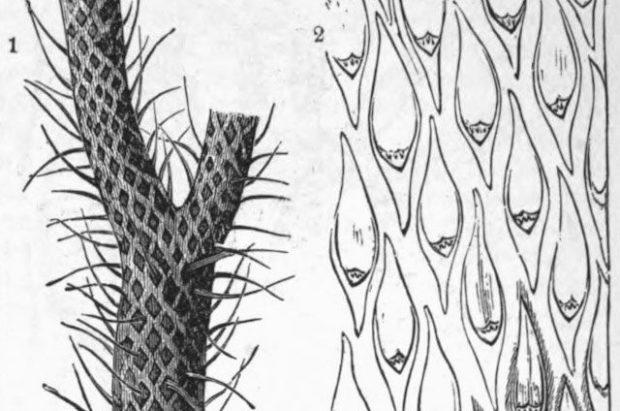 Lepidodendron — 300 миллионов лет назад (Северное полушарие)