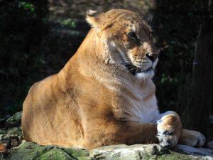 Лигр - крупнейшая кошка на планете.