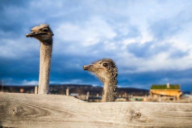 На самом деле страусы не засовывают голову в песок