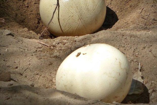 Страусиные яйца — самые крупные из существующих сейчас