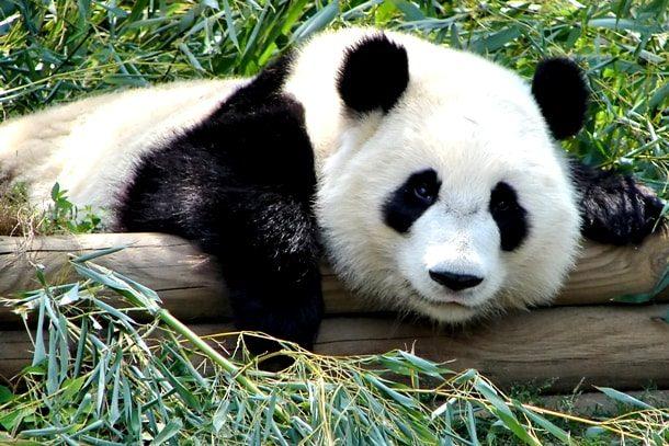 Панда лежит на бамбуковом стволе
