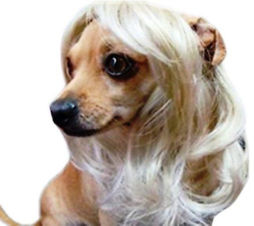 Собака в парике блонд