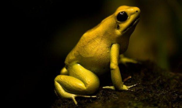 Золотая лягушка-древолаз