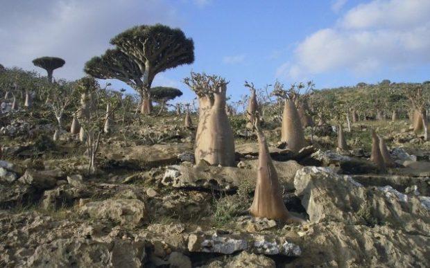 Необычная растительность острова Сокотра