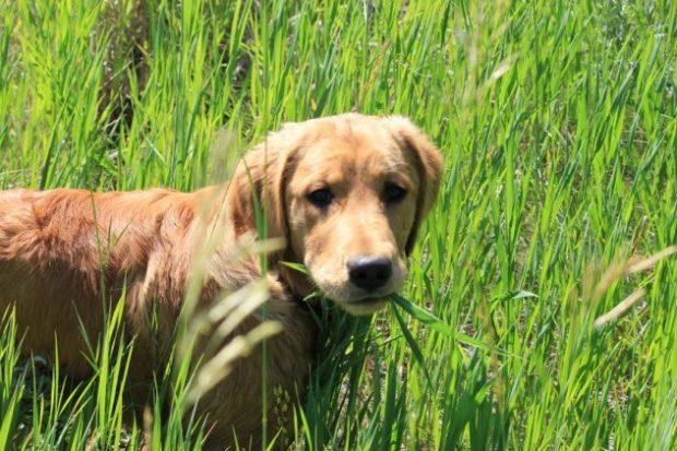 Собака с травой в зубах