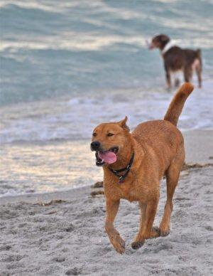 Домашняя каролинская собака