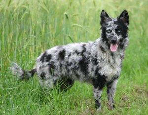 Пес муди серый
