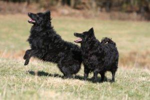 Собаки муди черные