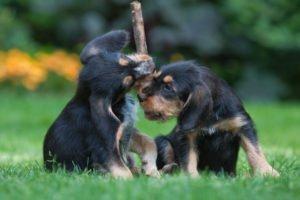 Оттерхаунд (щенки)