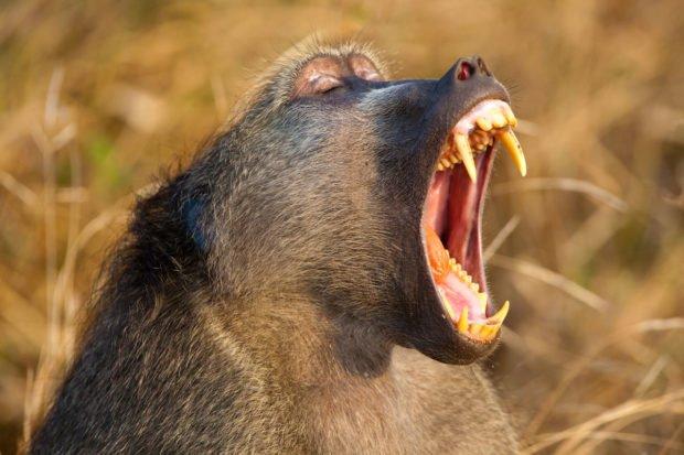 Бабуин зевает