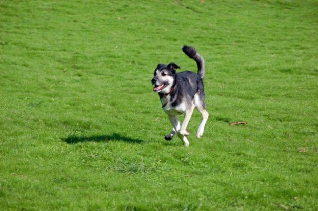 Собака бежит по газону