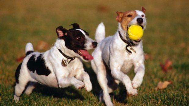 Собаки играют в мяч