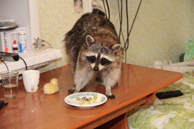 Енот ворует еду со стола
