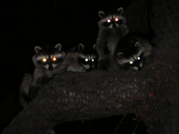 Еноты ночью