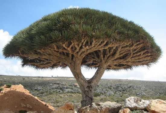 драконово дерево