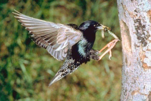 Птица с червяком в клюве залетаетв дупло