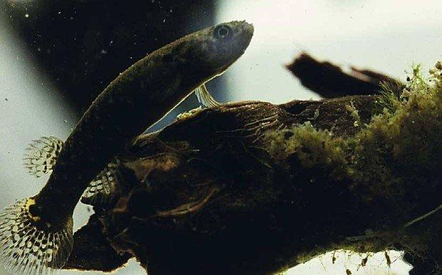 Мраморный ривулус