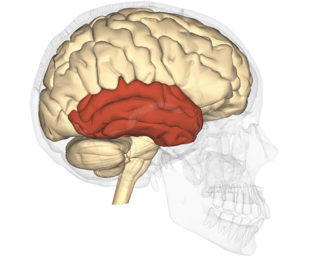 Височная доля мозга