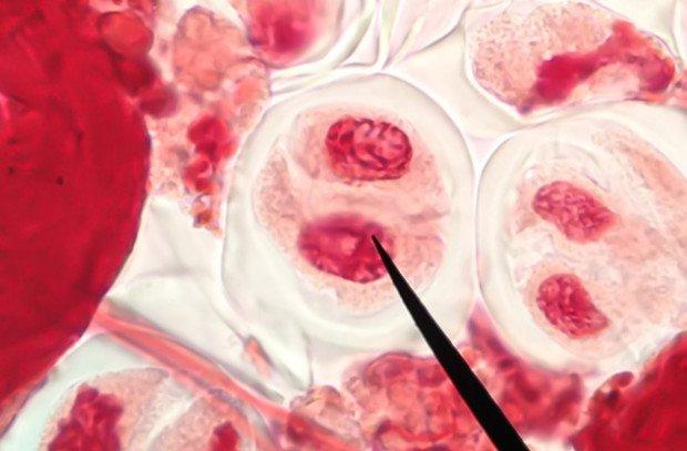 Клетка под мироскопом