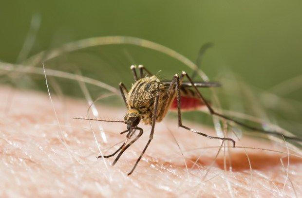 Комар на теле жертвы