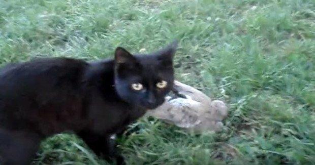 Кошка поймалаголубя