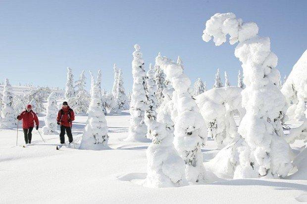 Замороженные деревья в финской Лапландии